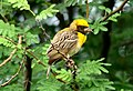 Baya Weaver Ploceus philippinus male Breeding plumage by Dr. Raju Kasambe DSC 5420 (15).jpg