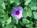 Beach Morning Glory (Ipomoea pes-caprae) at Bheemunipatnam 02.jpg