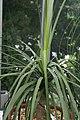 Beaucarnea recurvata 18zz.jpg