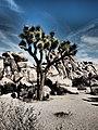 Beauty of Joshua Tree California.jpg