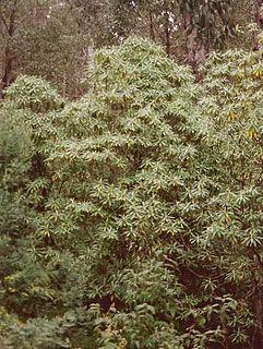 <i>Bedfordia arborescens</i> Species of tree