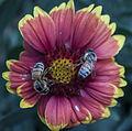 Bee flower031713-1a (8587568882).jpg