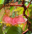 Begonia Malabarica 02.JPG
