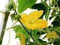 Benincasa hispida-IMG 4612.jpg