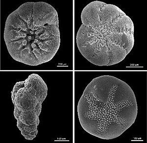 Foraminifera - Foraminiferan tests (ventral view)