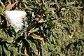 Berberis-gagnepainii-foliage-berries-2010-02-11.jpg