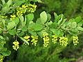 Berberis vulgaris5934.jpg