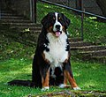 Bernese Bountain Dog Boni.jpg