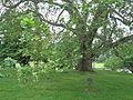 Bicentennial sycamore tree.jpg