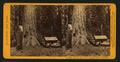 Big Tree (75 ft. circum) Mariposa Grove, Mariposa Co, by John P. Soule 2.png