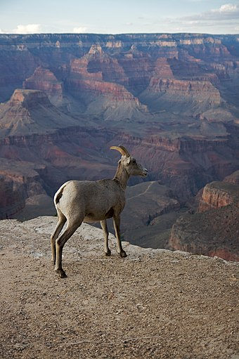 A bighorn ewe at the Grand Canyon, 2008 Bighorn, Grand Canyon.jpg