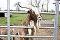 Billy Goat Gruff - geograph.org.uk - 409839.jpg
