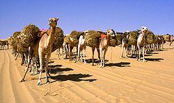 Camels carrying baggage in the desert