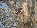 Bird Great Hornbill Buceros bicornis at nest DSCN9018 10.jpg