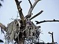 Bird osprey in nest Flatty Creek trail Goose Creek State Park Kristie Gianopulos (89).jpg