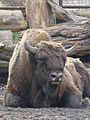 Bison bonasus in Poland.JPG