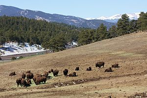 Genesee Park (Colorado) - Herd of American Bison at Genesee Park, I-70 in the distance