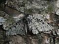 Biston betularia - Peppered moth - Пяденица берёзовая (27912630997).jpg