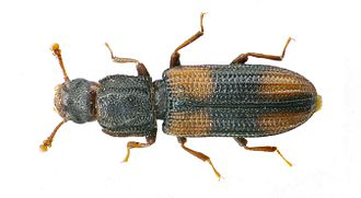 Colydiinae - Bitoma crenata  Imago