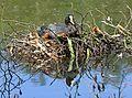 Blässhuhn im Nest auf dem Wasser.2H1A6557WI.jpg
