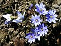 Blå-anemone FLM-30149 original.jpg