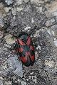 Black-and-Red Froghopper - Cercopis vulnerata (27018256276).jpg