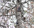 Black-backed Woodpecker (adult with juvenile), Little Perch Lake, Luce County, MI, 27 July 2013 (9391891817).jpg
