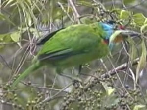 Dosiero:Black-browed Barbet.ogv