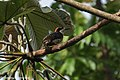 Black-cheeked Woodpecker - Darién - Panama (48431730992).jpg