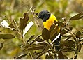 Black-chested Mountain-Tanager.jpg