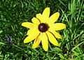Black-eyed Susan (19723855922).jpg