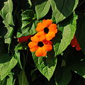 Black-eyed Susan 1.jpg