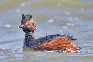Black-necked grebe - Image: Black necked Grebe Schwarzhalstaucher