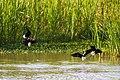 Black-necked stilt (47743012311).jpg