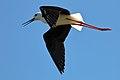 Black-winged Stilt (29825093872).jpg