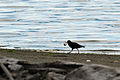 Black Oystercatcher with oyster, Dungeness NWR - 3347761142.jpg