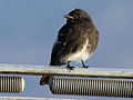 Black Phoebe white-winged RWD3.jpg