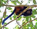 Black lion tamarin Pontal do Paranapanema 1.jpg
