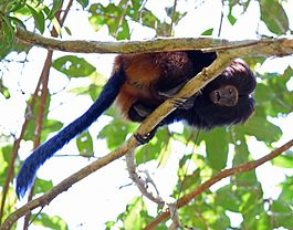 Black lion tamarin Pontal do Paranapanema 1.jpg