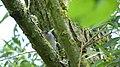 Blackcap male. Sylvia atricapilla (42299306440).jpg