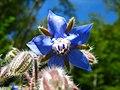 Blaue Borretsch Blüte, Borago officinalis.JPG