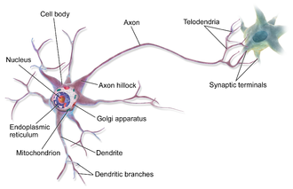 Axon - An axon of a multipolar neuron