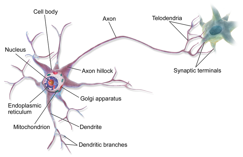 Scheme visualisation of a mulipolar neuron.
