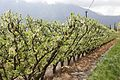 Blooming Prunus dulcis.jpg
