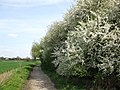 Blossom by the path - geograph.org.uk - 1803498.jpg