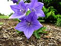 Blue-Flower ForestWander.jpg