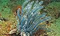 Blue Featherstar (Comatulida) (6080062846).jpg