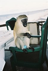 Blue balls (photo of monkey by Peter Klashorst).jpg