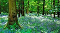 Bluebell Wood - Brecon Beacons.jpeg