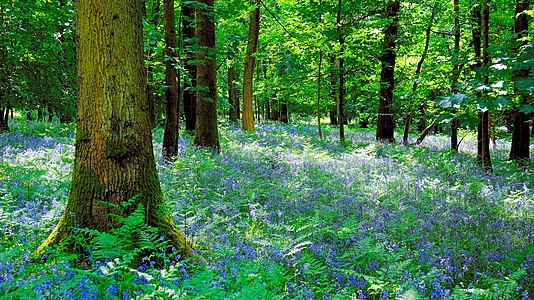 Bluebell wood in Wales